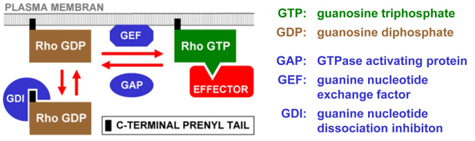 Fig. 2 Rho GTPases: regulation and down-stream signaling. Posttranslational prenylation is responsible for the association of Rho GTPases with the PM. In the active GTP bound conformation, Rho GTPases typically interact with multiple effectors to simulate downstream signaling. GAPs increase the GTPase activity of Rho GTPases and inhibit signaling that depends on these proteins. GEFs promote nucleotide exchange and stimulate Rho dependent signaling cascades. GDIs transfer GDP bound Rho GTPases from the PM to the cytoplasm.