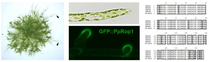 Fig. 3 Rac/Rop controlled tip growth in the moss Physcomitrella patens. Branching protonema (left, arrow heads) extend from a P. patens colony growing on the surface of solid culture medium. The apical cell at the end of each protonemal filament (center, top) elongates by tip growth. The P. patens Rac/Rop homolog Pp-Rop1 specifically accumulates at the tip of growing apical cells (center, bottom). The amino acid sequences of Pp-Rop1, of the three other P. patens Rac/Rop homologs and of the tobacco pollen tube Rac/Rop GTPase Nt-Rac5 are highly similar (right).