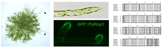 Abb. 3 Rac/Rop kontrolliertes Spitzenwachstum im Moos Physcomitrella patens. Verzweigte Protonema (links, Pfeile) wachsen aus einer P. patens Kolonie auf der Oberfläche von festem Kulturmedium. Die apikale Zelle am Ende jedes Protonemafilamentes (Mitte, oben) expandiert durch Spitzenwachstum. Die P. patens Rac/Rop GTPase Pp-Rop1 akkumuliert spezifisch an der Spitze von expandierenden apikalen Zellen (Mitte, unten). Pp-Rop1, die andern 3 P. patens Rac/Rop GTPasen und die Tabak Pollenschlauch Rac/Rop GTPase Nt-Rac5 habe fast identische Aminosäurensequenzen (rechts).