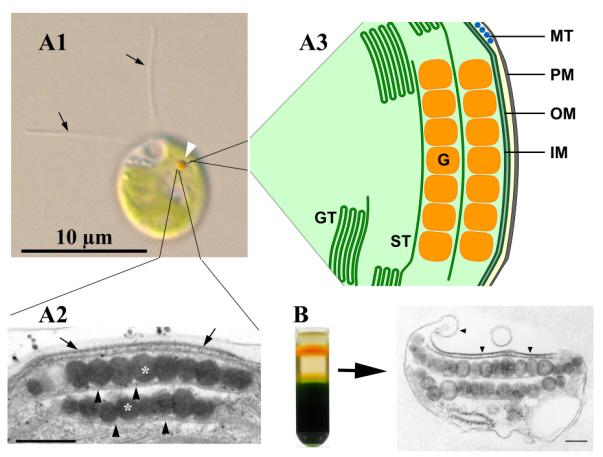 Abb. 1: Der Augenfleck-Apparat von Chlamydomonas reinhardtii im lichtmikroskopischen Bild (A1, weiße Pfeilspitze), im transmissionselektronenmikroskopischen Bild (A2) und im Schema (A3). Strukturell intakte Augenfleck-Apparate können mittels Saccharose-Gradientenzentrifugation isoliert werden (B).